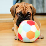 Little puppy bullmastiff Stock Image