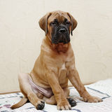 Little puppy bullmastiff Royalty Free Stock Image