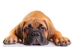 Little puppy bullmastiff Stock Images