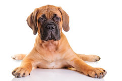 Little puppy bullmastiff. Lies on a white background, isolated stock photos