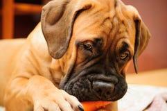 Free Little Puppy Bullmastiff Stock Photos - 27756013