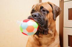 Little puppy bullmastiff Royalty Free Stock Photo