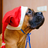 Little puppy bullmastiff Stock Photo