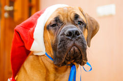 Little puppy bullmastiff Royalty Free Stock Photography