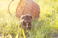 Little puppy with basket on grass, soft light Royalty Free Stock Images