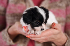 Little puppy in the caring hands Stock Photos