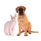 Little puppy and cat Don Sphynx. Little puppy bullmastiff and Don Sphynx (DON SPHYNX) cat sitting on a white background, isolated Royalty Free Stock Images