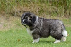 Little puppy of Caucasian Shepherd Royalty Free Stock Photography