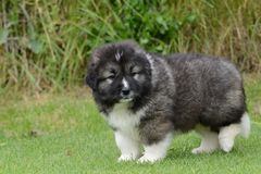 Little puppy of Caucasian Shepherd Stock Photo