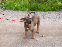 Little puppy chews the leash Stock Photo