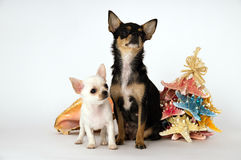 Little puppy chihuahua with mom standing near the toy Stock Photos