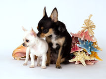 Little puppy chihuahua with mom standing near the toy Stock Images