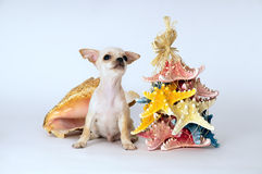 Little puppy chihuahua standing near the toy Royalty Free Stock Images