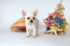 Little puppy chihuahua standing near the toy Stock Images
