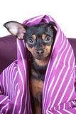A little puppy climbs out of the blanket. , a woken, frightened puppy Stock Image