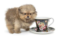 Little  puppy and Cup with saucer. Little Pomeranian puppy and Cup with saucer, isolated on white background royalty free stock images
