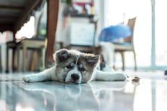 Little Puppy. Cute little Thai breed puppy Bangkaew stock photos