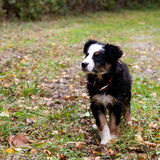 Little puppy dog. Puppy dog walking on the grass royalty free stock photos