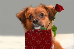 Little puppy dog with big astonished  eyes  brings gifts. Little crossbreed puppy dog with big eyes  carries a present and a red rose Royalty Free Stock Image