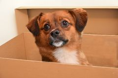 Little puppy dog with big astonished  eyes in paper box. Little crossbreed puppy dog with big eyes  sitting in a cardboard box Royalty Free Stock Photo