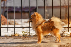 Little puppy,dog,spitz was staying on the ice in winter sunny day and looking to the left stock photography