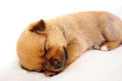 Little puppy fast asleep on white background. Tiny sleeping puppy on white background Stock Images