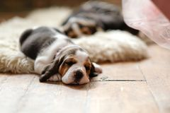 Little puppy. On the floor royalty free stock image