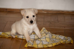 Little puppy on the floor. Little white puppy sitting on a dish cloth Stock Photography