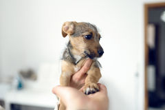 Little puppy giving paw Stock Images