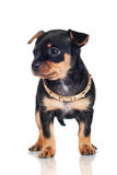 Little puppy with a gold collar Royalty Free Stock Photos