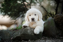 Little puppy Golden retriever. Puppy lying on the grass in the park in the summer stock images