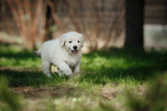 Little puppy Golden retriever. Puppy running, playing in the summer park stock photography