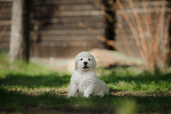 Little puppy Golden retriever. Puppy sitting in the summer park royalty free stock image