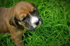 A little puppy on the grass royalty free stock image