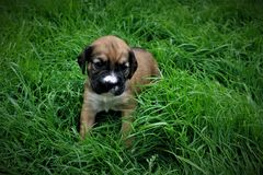 Portrait of a little puppy on the grass royalty free stock photo