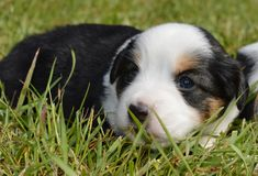 Puppy. Little puppy on the grass Stock Image