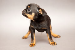 Little puppy  Griffon Brabanson Royalty Free Stock Image