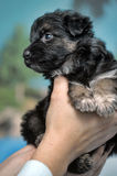 Little puppy in hands Stock Photos