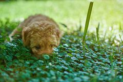 Little puppy hiding in grass. Poodle puppy laying on grass Stock Photography
