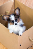 Little puppy inside a cardboard box Royalty Free Stock Photo