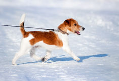 Little puppy jack Russell running. In winter stock photography