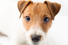 Little puppy of Jack Russell Terrier dog. Portrait of a small puppy Royalty Free Stock Photography