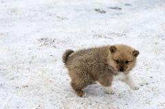Little puppy Karelo Finnish Laika sports outdoors Stock Photo