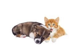 Little puppy and kitten Stock Image