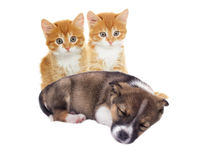 Little puppy and kitten Stock Images