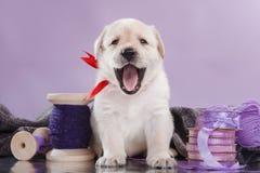 Little puppy Labrador retriever Stock Photos