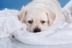 Little puppy Labrador retriever Stock Images