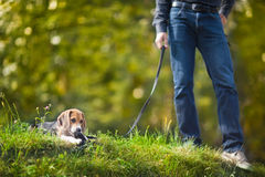 Little puppy on a leash. Stock Photo