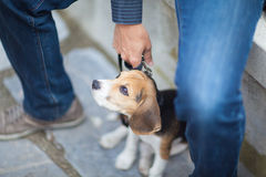 Little puppy on a leash. Royalty Free Stock Photography
