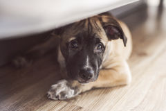 Little puppy lies on the floor under the bed Royalty Free Stock Photos